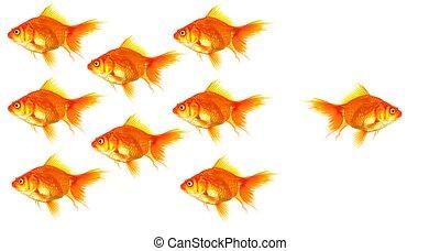 individual goldfish - goldfish showing discrimination...