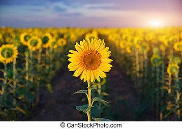 Individual sunflower. Meadow of sunflowers.