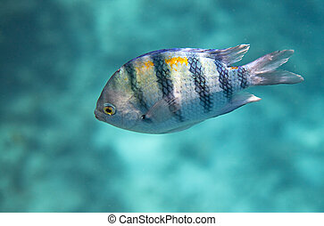 Indo-pacific sergeant. Flora and fauna of the Red Sea.