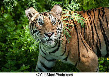 indochinese, adulte, tiger.