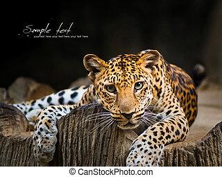 Leopard - Indochinese Leopard staring prey