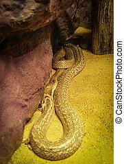 Indochinese or monocellate cobra lying on ground / Snake Naja kaouthia