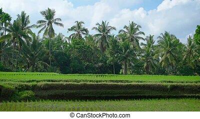 indonésie, sur, arbres, riz, bali, paume, plantation
