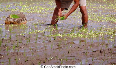 Indonesia, Bali. Rice field. Planting of seedlings in mud. Focus on foreground