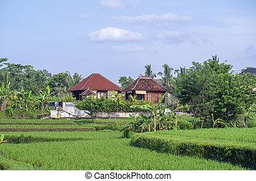 indonesia., begrepp, fält, natur, hus, resa, träd, bali, solig, palm, ö, ris, dag, landskap