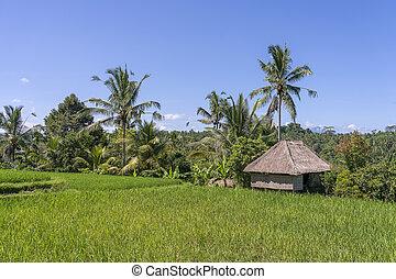 indonesia., begrepp, fält, natur, sugrör, hus, resa, träd, bali, solig, palm, ö, ris, dag, landskap
