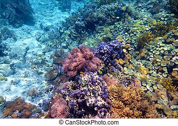 indonesia, menjangan., arrecife, colorido, fondo, foto, coral, duro, tropical, submarino, mar, isla, corales
