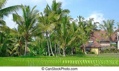 indonesia., rangées, ferme, bali, vidéo, propre, 4k, riz