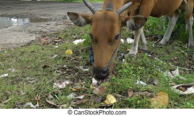 indonesian cow eating something in a pile of garbage, ecological disaster dirty concept