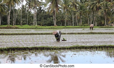 Indonesian farmers working on rice