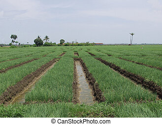 Indonesian sawa - Indonesian ricefields (sawa) on Java