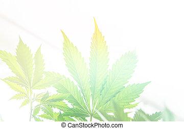 indoor grow cannabis indica, white background cultivation cannabis, Cannabis vegetation plants, marijuana leaves on light, marijuana legalization, hemp marijuana CBD, light leaks