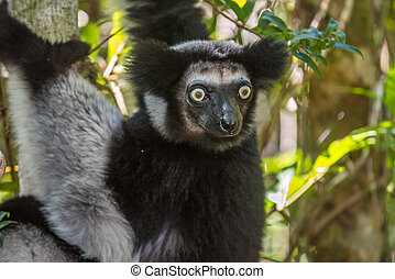 Indri, the largest lemur of Madagascar