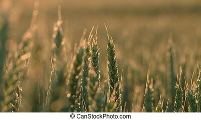 Industrial agriculture Grainfield - grainfield in summer...