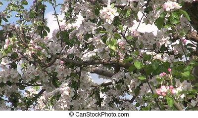 industrial apple trees garden