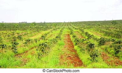 Industrial coffee tree plantation, farm, garden, Laos