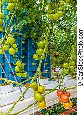 industriel, croissance, serre, tomates