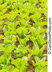industry., フィールド, 成長する, 緑の野菜, 農業