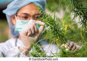 industry., cbd, 概念, 選択肢, pharmaceptical, 麻, 草, 科学者, greenhouse., マリファナ, 肖像画, オイル, 薬, 点検, 植物, 研究