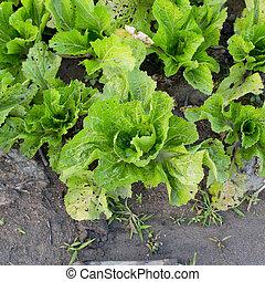industry., insalata, lattuga, campo, crescente, agricolo