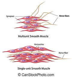 inervación, músculo, liso