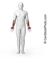 inférieur, muscles, -, bras, humain