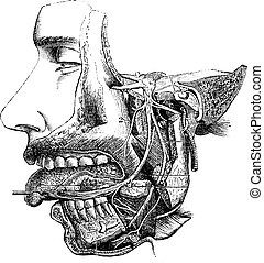 Inferior maxillary nerve and its branches, vintage...