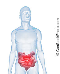 3d rendered illustration of a human body shape with highlighted colon and small intestines