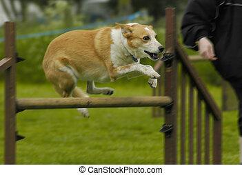 dog during a hurdle jump
