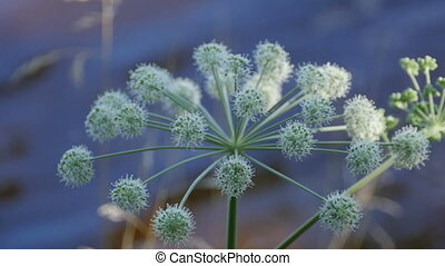 inflorescence Angelica flowers close to, medicinal plant used in medicine