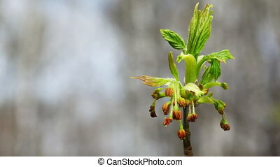 inflorescence bloom on top of tree swaying in spring wind