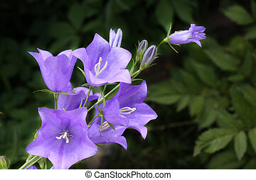 campanula - Inflorescence flower blue campanula