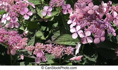 Inflorescence of a hydrangea with rare flowers in pink tones