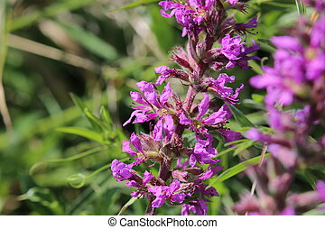 Inflorescence of a Lythrum salicaria (purple loosestrife)...