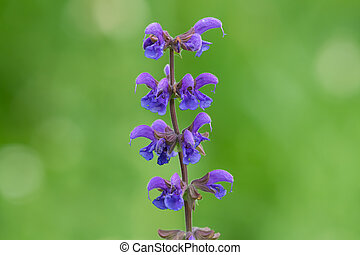 Inflorescence of a meadow clary green background