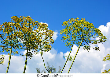 Inflorescence of dill on a background of blue sky with white clouds. Beautiful summer landscape. Garden plant.