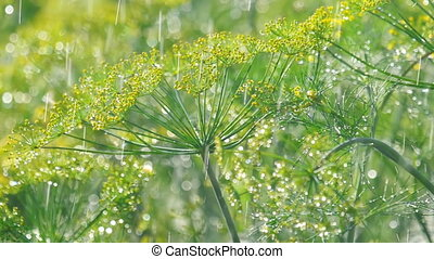 Inflorescence of dill under rain - Raindrops on the...