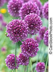 Inflorescence of garlic flowers