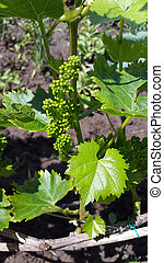 inflorescence of grapes in the garden