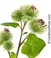 Inflorescence of Greater Burdock. on white background. One...