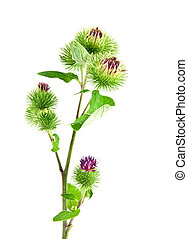 Inflorescence of Greater Burdock. on white background. One ...