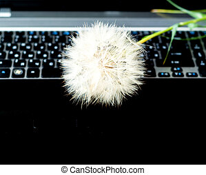 Inflorescence of white dandelion on laptop keyboard. Close-up