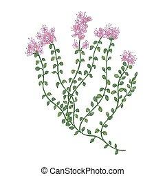 inflorescences, blanco, planta, planta perenne, detallado, ...