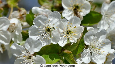 Inflorescences of the cherry blossoms, close up.