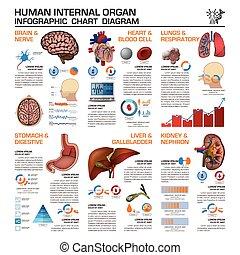 infographic, 器官, 医学の 図表, 図, 内部, 健康, 人間