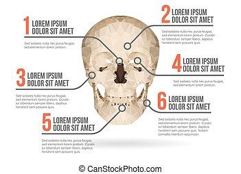 infographic, emberi, vektor, koponya, ábra