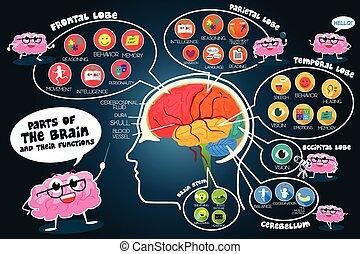 infographic, hjärna, funktioner, särar