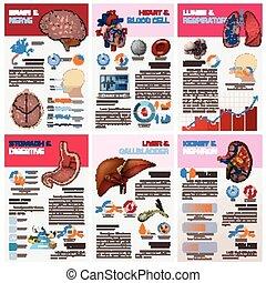 infographic, organ, läkar tablå, diagram, inre, hälsa, mänsklig