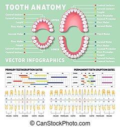 infographics, dente, anatomia, vettore, orthodontist, denti umani, schemi