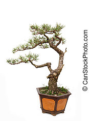 Informal upright style bonsai tree on white